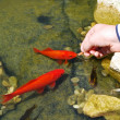 Feeding fish — Stock Photo