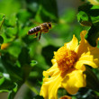 Stock Photo: Flying honeybee