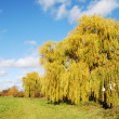 Weeping Willow — Stock Photo #6384780