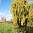 Weeping Willow — Stock Photo #6384820