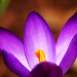 Royalty-Free Stock Photo: Crocus flower