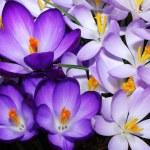 flores de azafrán — Foto de Stock