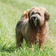 Stock Photo: Tibetterrier dog