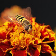 Stock Photo: Hoverfly on a orange blossom