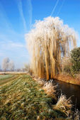 Wheeping willow — Stock Photo