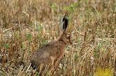 Hare — Stock Photo