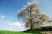Flowering tree — Stock Photo