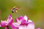 Latające pszczoły miodnej — Zdjęcie stockowe