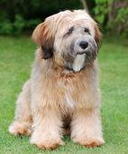 Tibetan terrier dog — Stock Photo