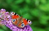 Peacock butterfly — Stock Photo