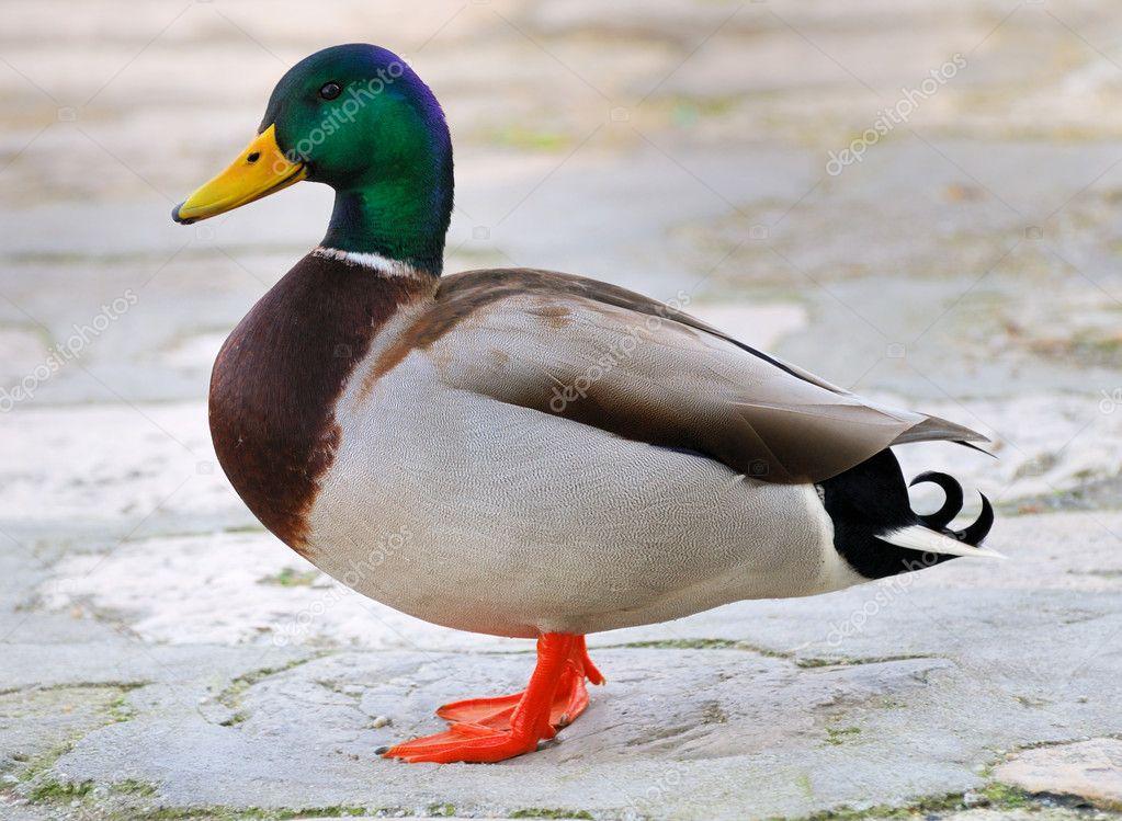 pics photos duck - photo #25