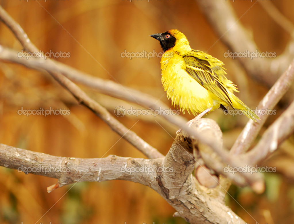 A yellow baya bird sitting on a branch — Stock Photo #6383489