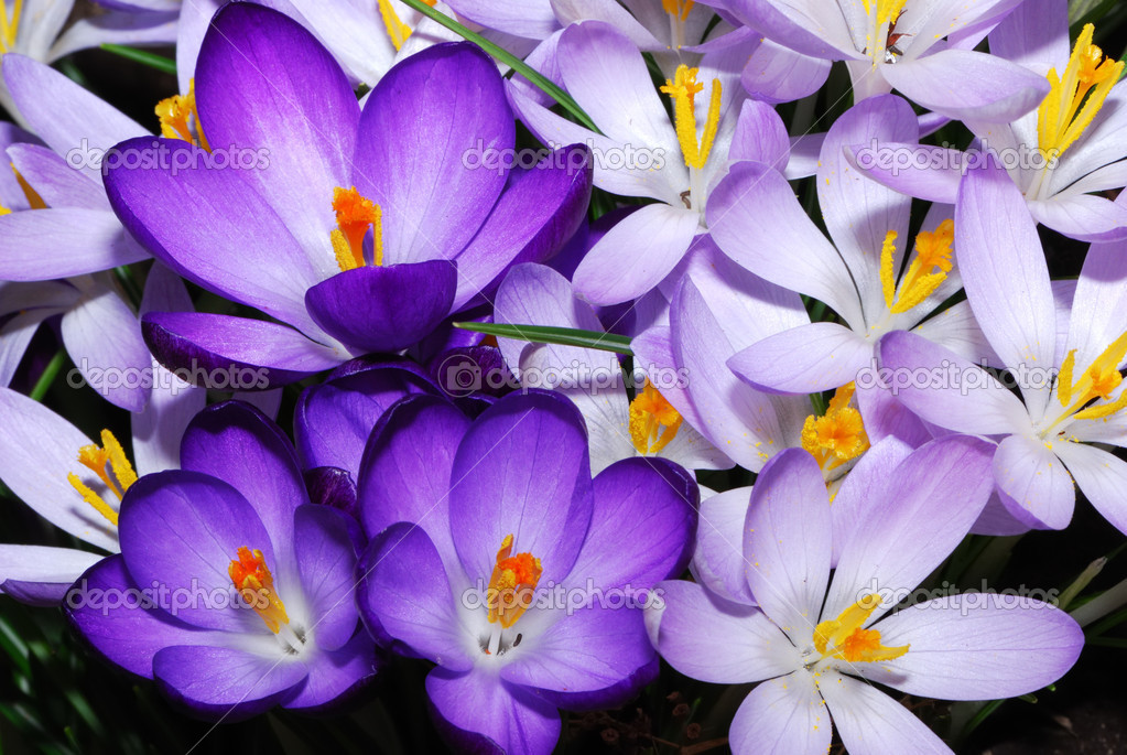 Field of purple crocus flowers  Stock Photo #6385224
