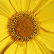 Yellow marguerite flower — Stock Photo