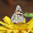Royalty-Free Stock Photo: Painted Lady butterfly