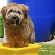 Stock Photo: Dog having a bath