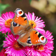 Stock Photo: Peacock butterfly