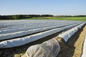 Campo di asparagi — Foto Stock