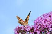 Geverfde dame vlinder — Stockfoto
