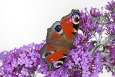 Peacock vlinder — Stockfoto