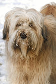 Tibetan Terrier portrait — Stockfoto