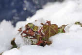 Ivy in the snow — Stock Photo