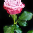 Pink Rose — Stock Photo #6399873