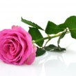 Wet Pink Rose — Stock Photo