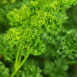 Fresh Parsley — Stockfoto