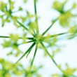 Blooming parsley — Stock Photo #6409014