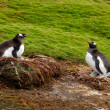 Foto Stock: Two penguins in the background of green