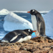 Foto Stock: Two penguins walk side by side