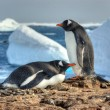 Stock Photo: Two penguins walk side by side