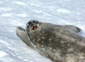 The grey seal Weddell — Stock Photo
