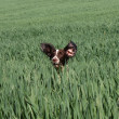 Working English Springer Spaniel in a field — Stock Photo #6396245