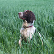 Working English Springer Spaniel in a field — Stock Photo #6396251