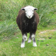 A Posing Sheep - Photo