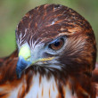 Harris Hawk — Stock Photo #6396820