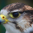 Stock Photo: Hawk, close-up