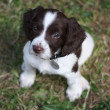 Working English Springer Spaniel puppy — Stock Photo