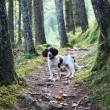 A working english springer spaniel on a woodland trail — Stock Photo #6397986