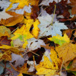 Yellow Maple leaves - Foto Stock
