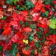 Red Maple leaves - Stock fotografie