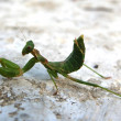 Praying Mantis - Photo