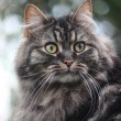 Long Haired Tabby Cat — Photo
