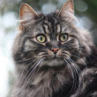 Long Haired Tabby Cat — Stok fotoğraf