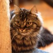 Stock Photo: Long haired tabby kitten