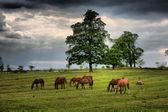 Caballos en un campo — Foto de Stock