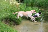 English Springer Spaniel & Golden Retriever jumping into a river — Foto Stock