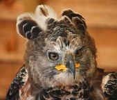 African crowned eagle — 图库照片
